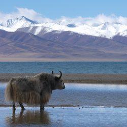 Les laines de yack filées en France