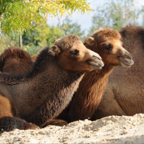 Les laines de chameau filées en France