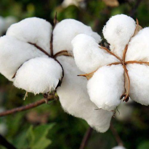 Fils de coton écologique filés en France