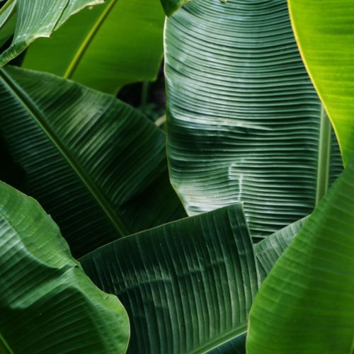 Fils d'abaca (bananier textile)