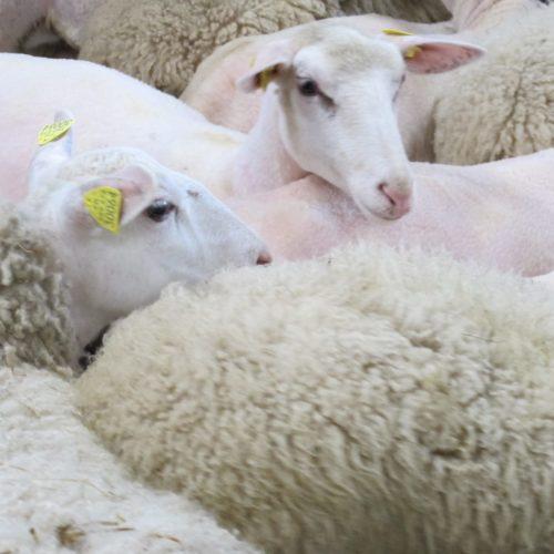 Les pures laines naturelles françaises (4 coloris)